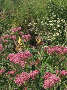 Butterflies-on-swamp-milkweed